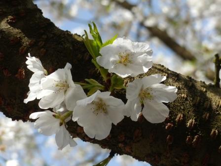 西法寺 大島桜 1