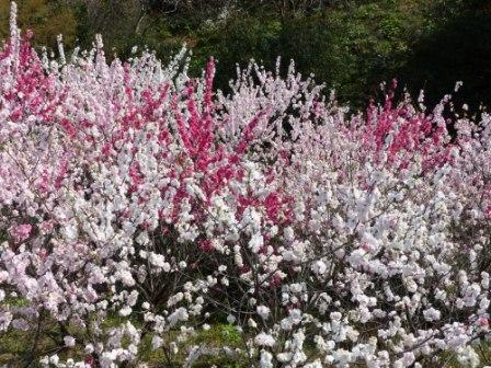 上久喜の花桃 1