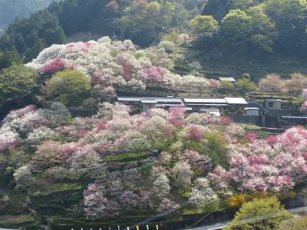 上久喜の花桃 4