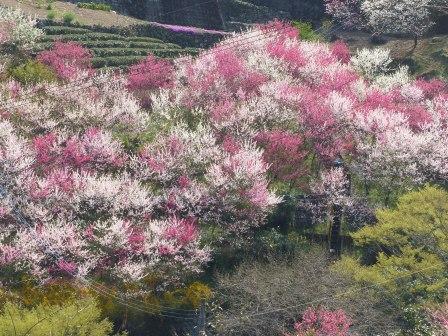 上久喜の花桃 3