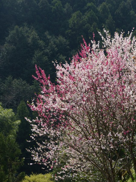 上久喜の花桃 5