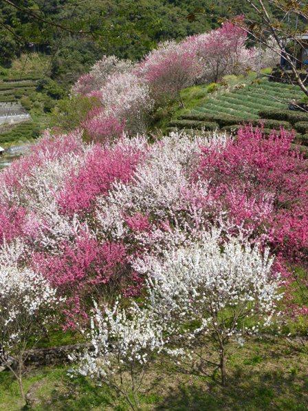 上久喜の花桃 6