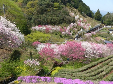 上久喜の花桃 7