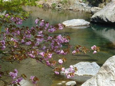 中津渓谷 八重桜 1