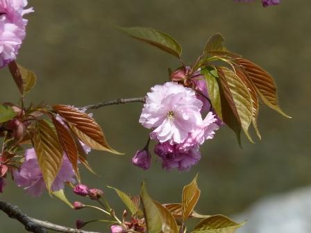 中津渓谷 八重桜 2
