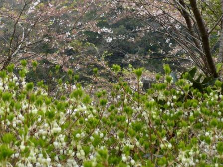 道の駅・ひろた ドウダンツツジ & 名残の桜