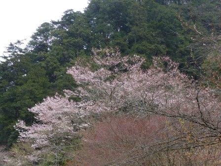 小田深山渓谷 桜 1