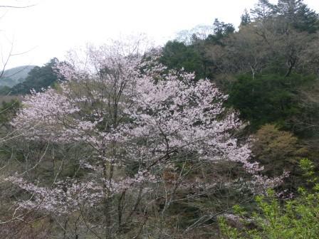 小田深山渓谷 桜 2