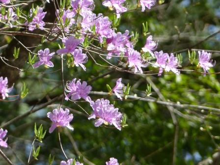 面河渓 ミツバツツジ 1