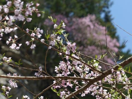 面河渓 桜の仲間