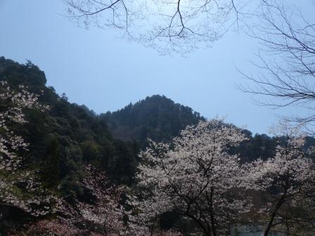 面河渓 桜