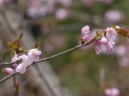 皿ヶ嶺 桜 2