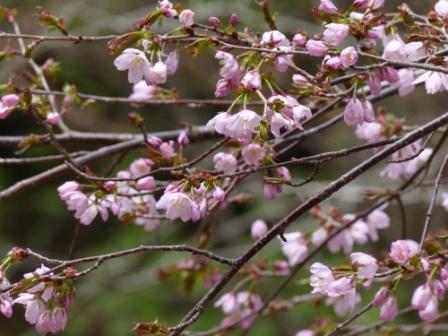 皿ヶ嶺 桜 1