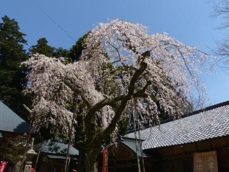 高縄寺 しだれ桜 1