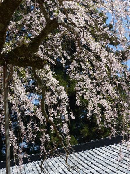 高縄寺 しだれ桜 2