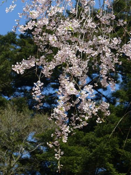 高縄寺 しだれ桜 3