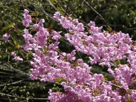高縄山からの帰り道 桜