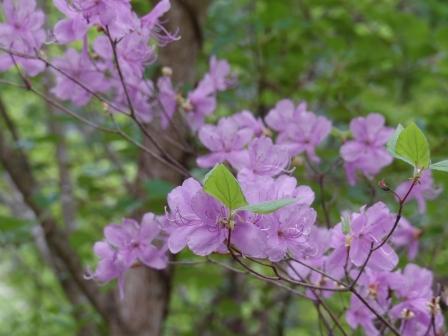 皿ヶ嶺 ミツバツツジ 3