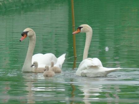 城山公園 白鳥のヒナ 1