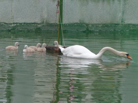 城山公園 白鳥のヒナ 2