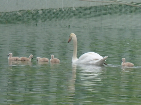 城山公園 白鳥のヒナ 4
