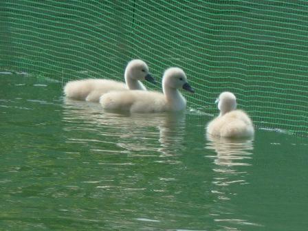 城山公園 白鳥のヒナ 6