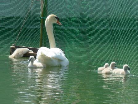 城山公園 白鳥のヒナ 7