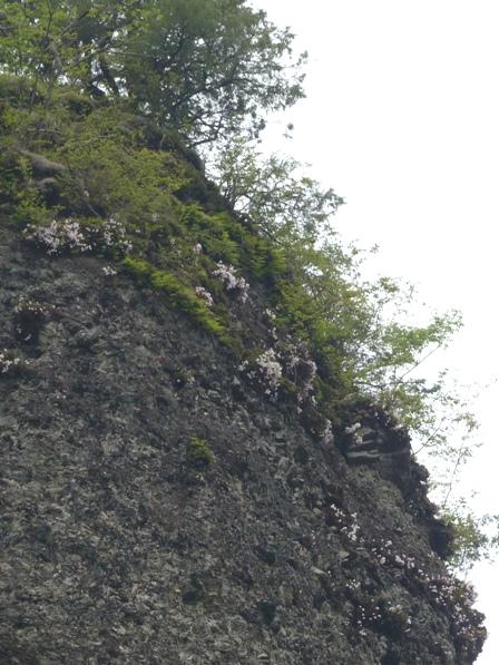 古岩屋 セッコク 1