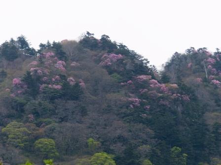 瓶ヶ森周辺 アケボノツツジ風景 1