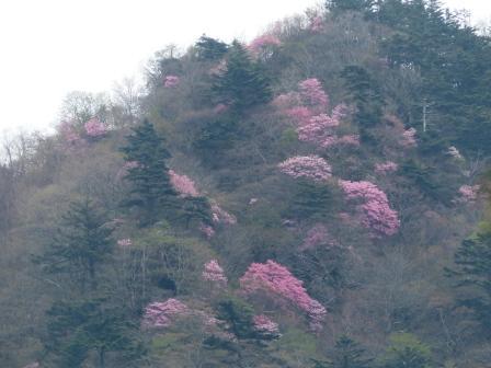 瓶ヶ森周辺 アケボノツツジ風景 2