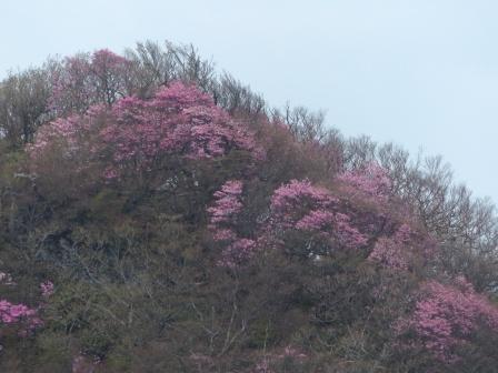 瓶ヶ森周辺 アケボノツツジ風景 子持権現山 2