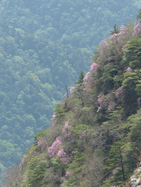 瓶ヶ森周辺 アケボノツツジ風景 3