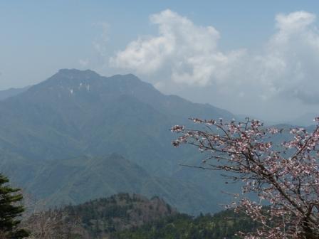 イシヅチザクラ と 石鎚山 1