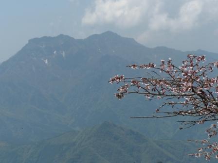 イシヅチザクラ と 石鎚山 2