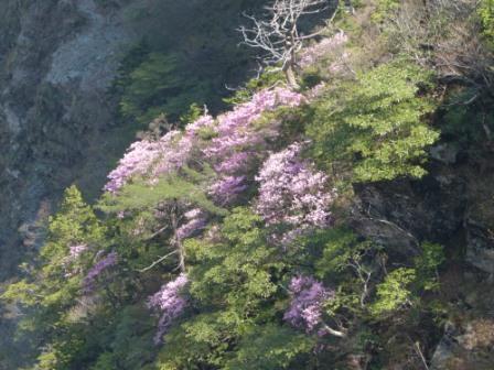 瓶ヶ森周辺 アケボノツツジ風景 4