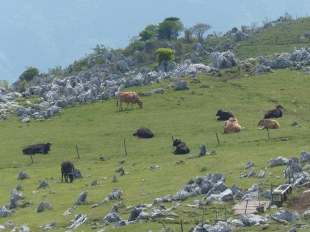 牛たち 1