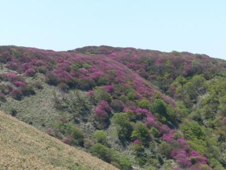 大川嶺~笠取山 ツルギミツバツツジの風景 2