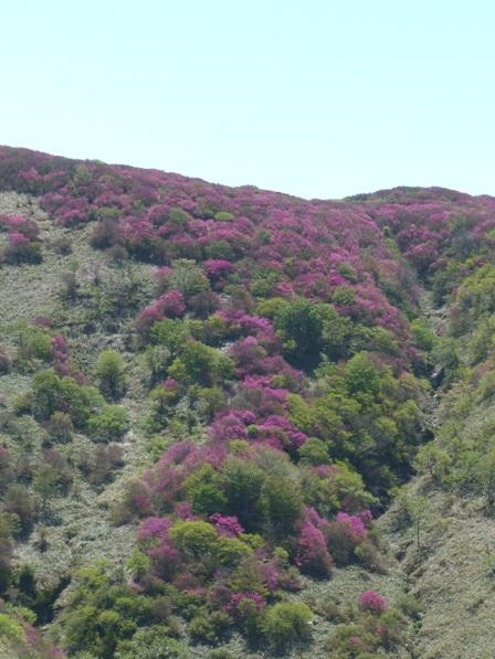大川嶺~笠取山 ツルギミツバツツジの風景 3