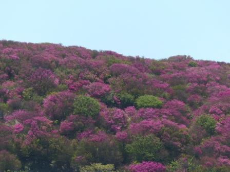 大川嶺~笠取山 ツルギミツバツツジの風景 1