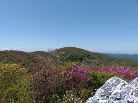 大川嶺~笠取山 ツルギミツバツツジの風景 4