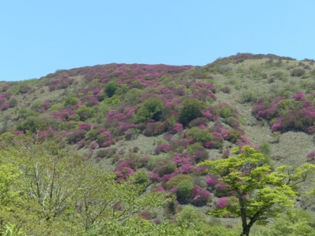 大川嶺~笠取山 ツルギミツバツツジの風景 5