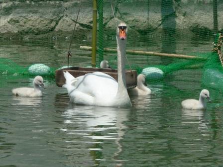 城山公園 白鳥のヒナ 8