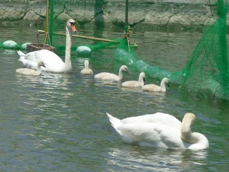 城山公園 白鳥のヒナ 10