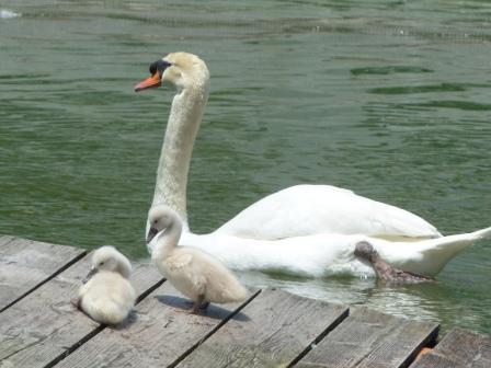 城山公園 白鳥のヒナ 11