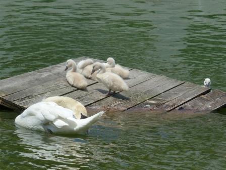 城山公園 白鳥のヒナ 12