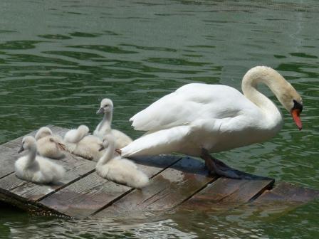 城山公園 白鳥のヒナ 14
