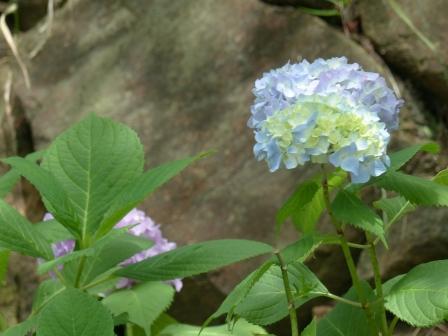松山総合公園 紫陽花 2