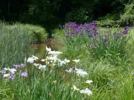 トンボ自然公園 花菖蒲 1