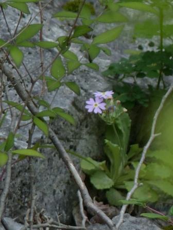 四国カルスト・天狗の森付近 ユキワリソウ 2