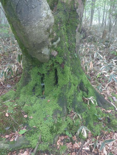 皿ヶ嶺 苔むす木